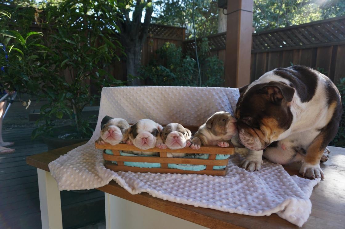 Rare English Bulldog Puppies Lilac Tri And Chocolate Tri